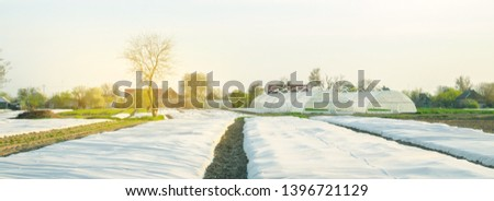 Growing vegetable. Spunbond to protect against frost and keep humidity of vegetables. Small greenhouses. Agricultural grounds. Farm Field Agriculture Farming. Potatoes. Selective focus Royalty-Free Stock Photo #1396721129