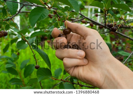 harvesting of fresh red and tasty cherries at summer cloudy day with man's hand close up. Picking ripe cherry from cherry tree branch #1396880468