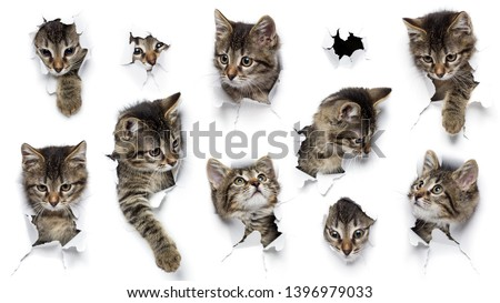 Cats in holes of paper, little grey tabby kittens peeking out of torn white background, ten funny playing pets, widescreen format, 16:9 #1396979033