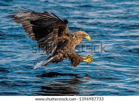 Adult White-tailed eagle fishing. Blue Ocean Background. Scientific name: Haliaeetus albicilla, also known as the ern, erne, gray eagle, Eurasian sea eagle and white-tailed sea-eagle.