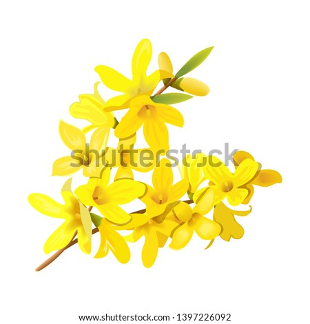 Forsythia suspensa, fluffy spring tree branch. Golden Bell, blossoming yellow flowers. Vector illustration. Spring decor. leuropaea blooming in garden bush for prints, posters, cards #1397226092