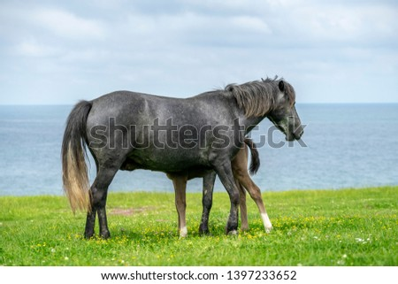 Wild horses shot on a green meadow by the sea shore. #1397233652