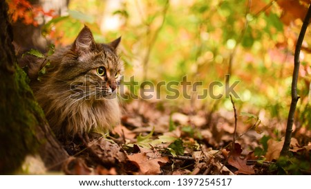 A Siberian tabby cat exploring the autumn forest #1397254517