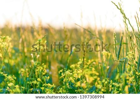 Summer yellow flowers and different herbs on the meadow. Wildflower meadow, flower meadow, wildflowers. Summer nature backgrounds. #1397308994