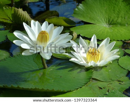 Nymphaea lotus, the white Egyptian lotus, tiger lotus, white lotus or Egyptian white water-lily, is a flowering plant of the family Nymphaeaceae. #1397323364