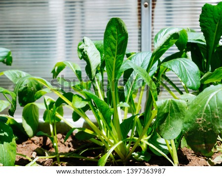 the close-up of vegetable Bok Choy #1397363987