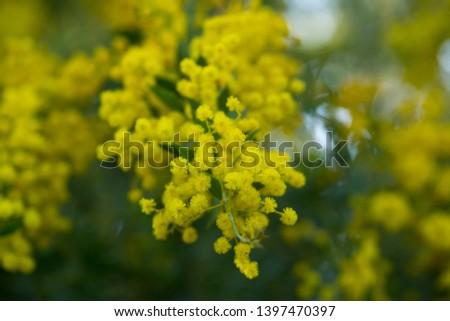 Australian acacia cultriformis bright yellow flowers  #1397470397