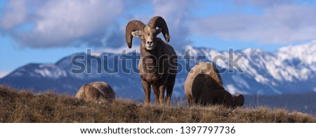 Bighorn Sheep grazing in the Canadian Rockies preparing for Winter #1397797736