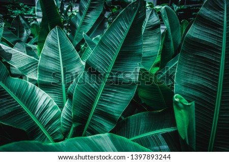 tropical banana leaf texture in garden, abstract green leaf, large palm foliage nature dark green background #1397893244