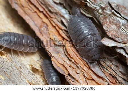 Common rough woodlouse, Porcellio scaber on wood #1397928986