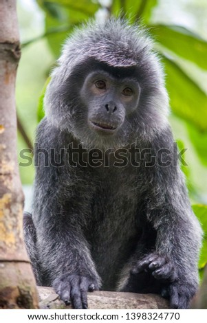 The Javan lutung (Trachypithecus auratus) closeup image,  also known as the ebony lutung and Javan langur, is an Old World monkey from the Colobinae subfamily #1398324770