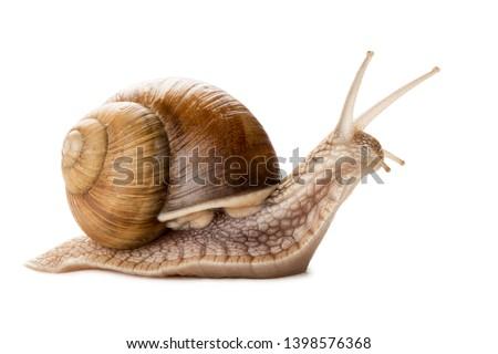 Garden snail isolated on white. Royalty-Free Stock Photo #1398576368