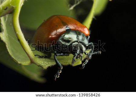 beetle leaf beetle Royalty-Free Stock Photo #139858426