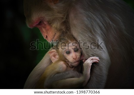 A Portrait of  The Rhesus Macaque Mother Monkey Feeding her Baby and showing emotions #1398770366