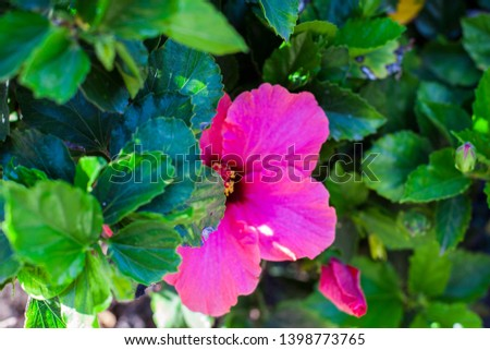 Pink hibiscus. Blooming green bush with hibiscus flowers. #1398773765
