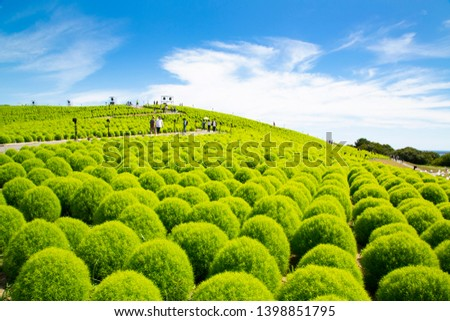 Summer cypress field in Hitachi seaside park #1398851795