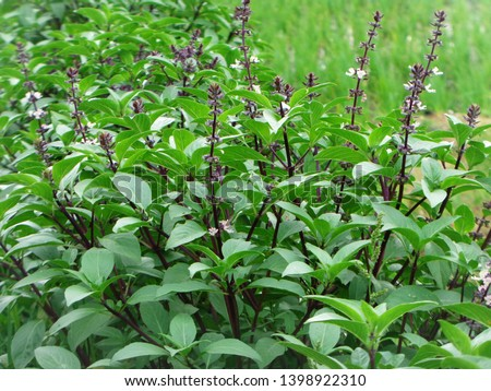 Basil plants, the leaves can be used as food flavoring, and can be made vegetables. #1398922310
