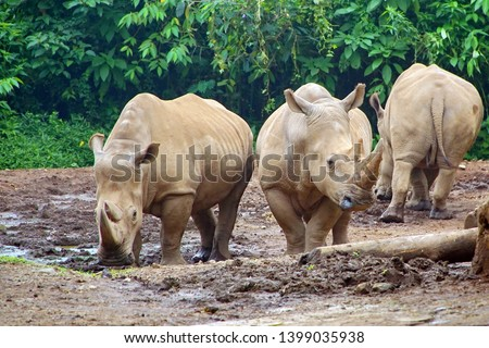 Sumatran Rhinoceros or Rhino Rhinoceros Two of the world's rarest species of rhinoceros, and this species is the smallest of the rhinoceros species today. #1399035938