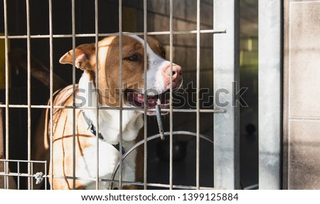 pitbull dog behind fence, pitbull, pitbull lover, pitbull in shelter