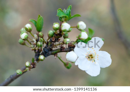 Isolated Spring inflorescence of plum tree (the scientific name in Latin Prunus domestica) #1399141136