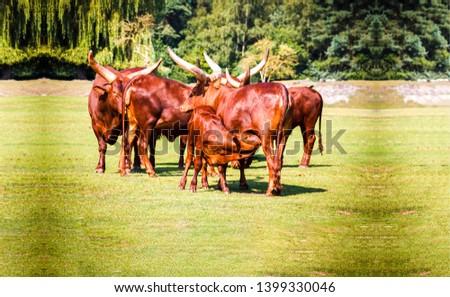 Bull herd on pasture grazing. Bulls on pasture field. Mare and foal bull hers scene. Bull herd pasture scene #1399330046