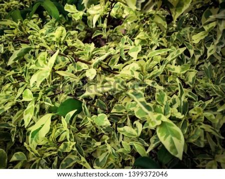beautiful in leaf yellow and green in wrightia religiosa Benth ,variegata #1399372046
