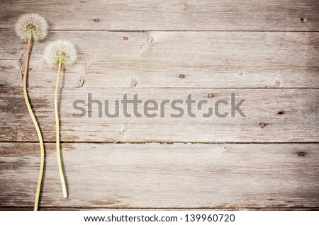 dandelion  on a aged wooden background