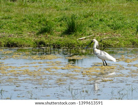 Eurasian spoonbill (Platalea leucorodia), or common spoonbill, looking for food in an area called the Groenzoom near the villages of Pijnacker, Berkel and Zoetermeer in the Netherlands #1399613591