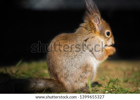 Portrait of eurasian red squirrel. Natural photo. #1399655327