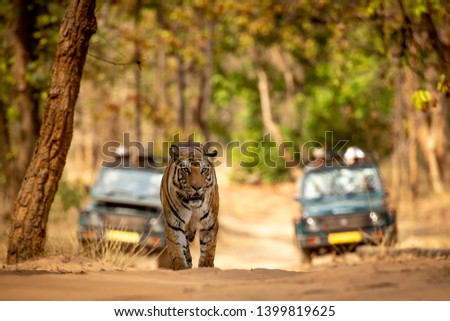 Tiger walking towards you on the road with tourist jeeps in the background #1399819625
