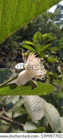 guava flower (Psidium guajava) anther #1399877027