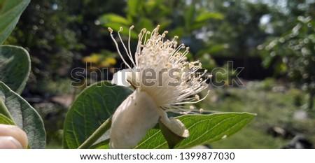 guava flower (Psidium guajava) anther #1399877030