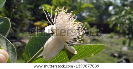 guava flower (Psidium guajava) anther #1399877039