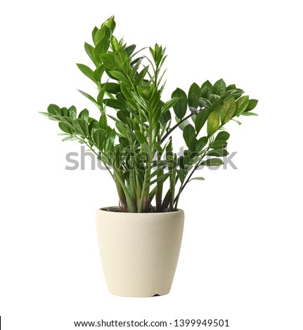 Pot with Zamioculcas home plant on white background #1399949501