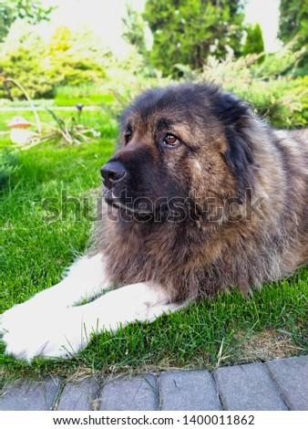 Caucasian Shepherd portrait on green grass background. #1400011862