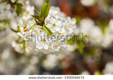Branches of a flowering tree. Cherry tree in white flowers. spring Sunny day. close up #1400068676