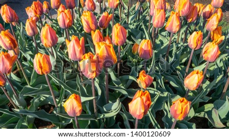 Flower tulips. Tulips blooming background. Blossom of red orange colorful flowers. Beautiful view of orange tulips in the garden and green grass landscape on sunny day.   #1400120609