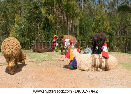 Peru Peruvian llamas, baby alpaca, and alpaca dressed in traditional colorful clothing and set up in tourist area for pictures.