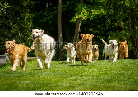 A group of playful pedigreed Golden Retriever dogs are running  towards the camera in a green park. Royalty-Free Stock Photo #1400206646