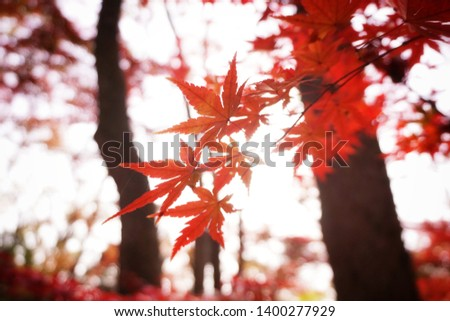 Soft focus, Red leaves maple on the tree with sunlight. #1400277929