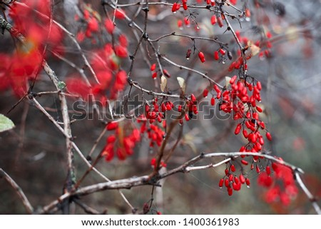 Drops of autumn rain on a red barberry #1400361983