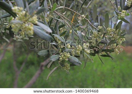 Olive tree tree full of flowers and buds #1400369468