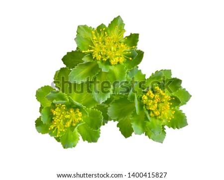 Rhodiola rosea or golden root, rose root, roseroot, Aaron's rod, Arctic root, king's crown, lignum rhodium, orpin rose #1400415827