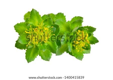 Rhodiola rosea or golden root, rose root, roseroot, Aaron's rod, Arctic root, king's crown, lignum rhodium, orpin rose #1400415839