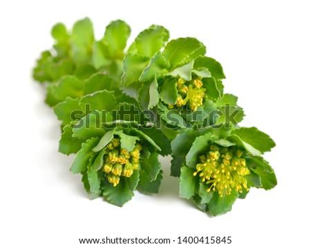 Rhodiola rosea or golden root, rose root, roseroot, Aaron's rod, Arctic root, king's crown, lignum rhodium, orpin rose #1400415845