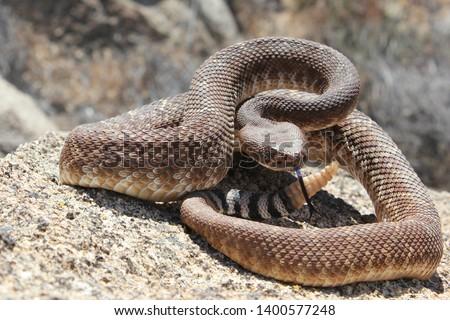 Red Diamond Rattlesnake (Crotalus ruber) Venomous North American Pit Viper #1400577248