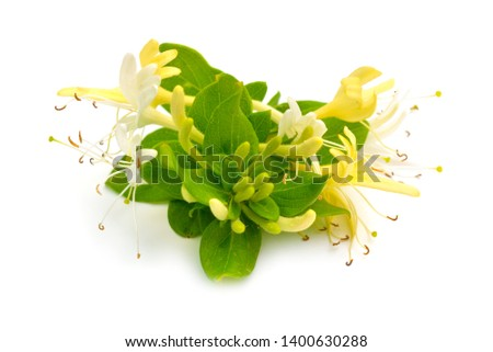Lonicera japonica, known as Japanese honeysuckle and golden-and-silver honeysuckle. Isolated on white #1400630288