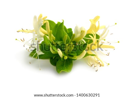 Lonicera japonica, known as Japanese honeysuckle and golden-and-silver honeysuckle. Isolated on white #1400630291