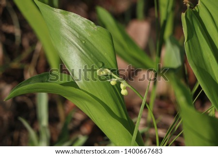 lilies of the valley, beautiful wildflowers, flowers, flowers in the field #1400667683