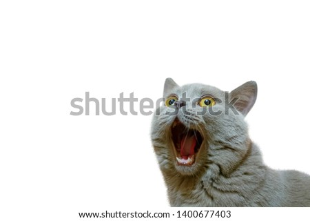 A lilac British cat with a blue coat looking up. The cat opened his mouth with a mad look. The concept of an animal that is surprised or amazed. The figure of a cat on an isolated background of white. #1400677403